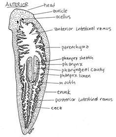 Planaria: nervous system | Invertebrates | Pinterest ...