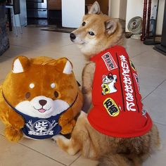 Spoiled Shiba Inu Kitsune with her new Japanese toy and outfit.  Love Shiba Inus? Learn more about this breed at www.myfirstshiba.com.