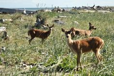 Deer on the Dungeness Spit in Washington State