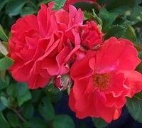 Coral Drift Rose - (Rosa 'Coral Drift')Roses  Other Common Names: Grouncover Rose, Rose   Family: Rosaceae Genus: Rosa Cultivar: 'Coral Drift