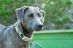 blue lacy dog photo | blue dog green truck | Flickr - Photo Sharing!