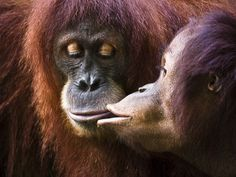 Cium saya = kiss me in Indonesian. This picture of Borneo orangutans was taken at Singapore Zoo just right after we took some pictures with them. Orangutan Sanctuary, Borneo Orangutan, Primates, Mammals, Love Pictures, Animal Pictures, Travel Pictures, Funny Pictures, National Geographic