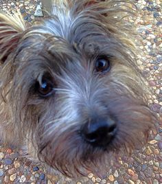 Pearl, Exercising her mind control... Cairn Terrier
