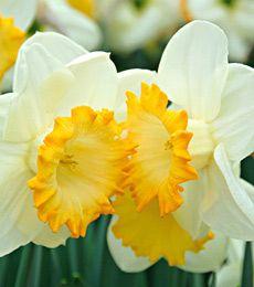 Narcissus Orange Mane
