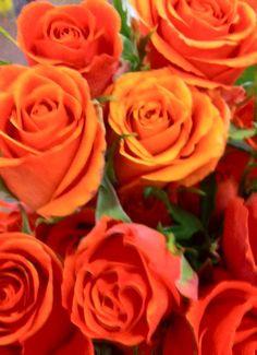rich orange roses
