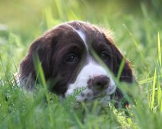English Springer Spaniel Puppy
