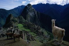 Alpacas above the famous Lost City of the Incas, Machu Picchu with Huayna Picchu beyond.
