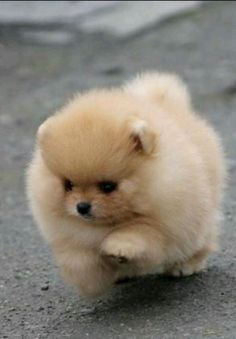 The cutest Pomeranian puppy Lieb - love animals (dogs) - Pomeranian in part . - The cutest Pomeranian puppy 💞 – love animals (dogs) – Pomeranian in part …, - Cute Baby Dogs, Cute Dogs And Puppies, Pet Dogs, Doggies, Puppies Stuff, Dog Cat, Puppies Tips, Tiny Puppies, Fluffy Puppies