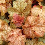 Midas Touch Heuchera Plant  Price $12.00  The 'Midas Touch' Heuchera Plant features striking fluted, ruffled, heavily veined foliage in every shade from the palest yellow to blushing peach to a mellow bronze. You will never get tired of this amazing variety of Coral Bells. Creamy white flowers arrive in May or June though most gardeners will use Midas Touch for its brilliant foliage in autumn-themed arrangements.