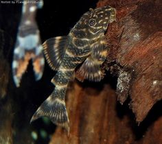 "CLOWN PLECO MAX SIZE: 3.6"" (approx. 9cm) ORIGIN: Venezuela and Colombia (South America) DIET: Omnivorous CHARACTER: Peaceful"