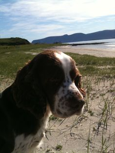 Billy enjoying the summer holidays on the island of Loppa, Northern Norway English Springer Spaniel, Norway, Island, Holidays, Dogs, Summer, Animals, Holidays Events, Summer Time