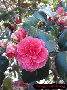 Camellia Japonica Plant Care Plants Plant Care Season Plants