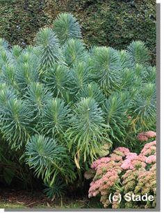 Euphorbia characias ssp. wulfenii (Mittelmeer-Wolfsmilch), 120cm, V-VI