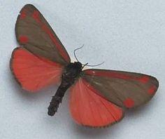 Google Afbeeldingen resultaat voor http://tepapa.files.wordpress.com/2009/02/bef-cinnabar-moth.jpg%3Fw%3D464