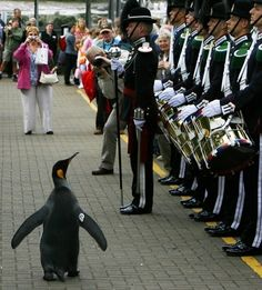 By the way, Norway once knighted a penguin. | The penguin's full name is Colonel-in-Chief Sir Nils Olav.