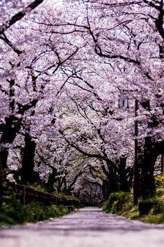 桜トンネル   #桜 #CherryBlossom