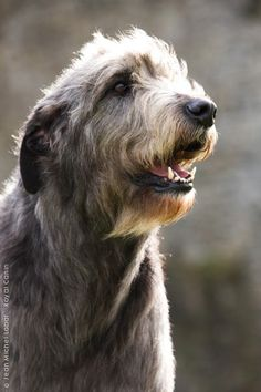 Irish Wolfhound dog art portraits, photographs, information and just plain fun. Also see how artist Kline draws his dog art from only words at drawDOGS.com #drawDOGS http://drawdogs.com/product/dog-art/irish-wolfhound-dog-portrait-by-stephen-kline/ He also can add your dog's name into the lithograph.