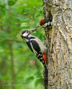 Eurasian Magpie, Spotted Woodpecker, British Garden, Blue Heron, Bird Pictures, S Pic, Bird Art, Beautiful Birds, Animal Rescue