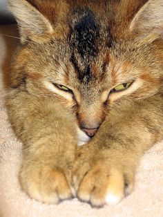 #Tabby Cat, Busted with Catnip...  Like,Repin,Share, Thanks!