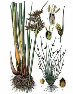 Scripps lacustris - gather in July