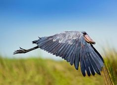 HOLY CRAP! THIS BIRD IS 5 FEET TALL AND IT CAN FLY?!??!?! I NEED!!