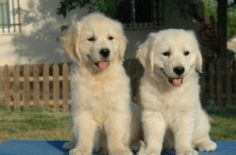 Golden Retriever, Cute Funny Animals, Dogs, Small Puppies, Pet Store, Exotic Animals, Pet Dogs, Doggies, Dog