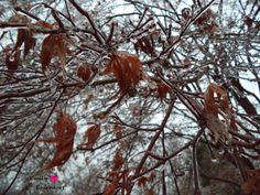 Ice on tree and leaves.