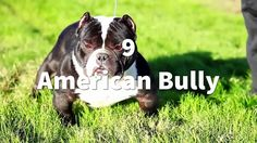 TOP 10 MOST MUSCULAR DOG BREEDS   https://i0.wp.com/trynotlaughs.us/wp-content/uploads/2017/05/jgraO.jpg?fit=1280%2C720  TOP 10 MOST MUSCULAR DOG BREEDS View at DailyMotion read more -> http://trynotlaughs.us/top-10-most-muscular-dog-breeds/  baby, BREEDS, comedy, dog, FAILS, FREE, FUN, funny, KIDS, movie, movies, MUSCULAR, TECH, Top 10, tv, WTF