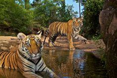 tigres+en+el+agua.PNG (744×495)