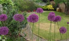 Allium 'Purple Sensation'. Remove seed head before seeds scatter to avoid alliums taking over garden