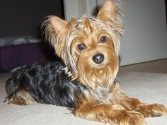 Exercise and the Yorkshire Terrier
