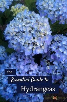 Here is a guide to all you need to know about hydrangeas: a description of the different types, how to change their color, drying projects, and more!  #FlowerGardens