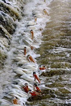 Pelicans all in a row feeding.