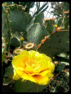 Flowering Cactus #HDR
