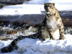 Ladakh-Hemis National Park: Snow Leopard Trek- My Dream, One day I shall do this! Spot the leopard and capture it in my lens. Snow Leopard Pictures, Animal Pictures, Snow Panther, Snow Tiger, Leopard Wallpaper, Baby Leopard, Exotic Cats, Mundo Animal, Nature Animals