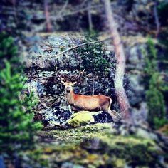 #Norway  #Deers