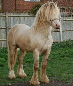 Pearl Gypsy Cobb. Pearl is only visible in its homozygous form, sometimes pearl horses can be mistaken for a double dilutes. [cremello, perlino, smoky cream]