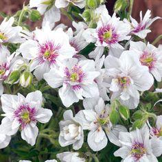 Geranium Pratense 'Double Jewel' soleil ou mi-ombre 12-24'' floraison fin printemps - automne