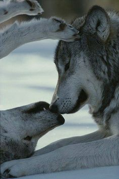 Amo los lobos