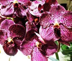 Mokara orchids.