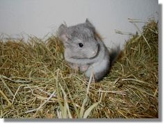 AHH adorable baby chinchilla!!!