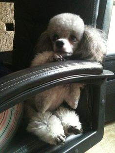 I love poodles Live Animals, Animals And Pets, Funny Animals, Adorable Animals, Cute Dogs And Puppies, Doggies, Silver Poodle, Toy Poodles, French Poodles