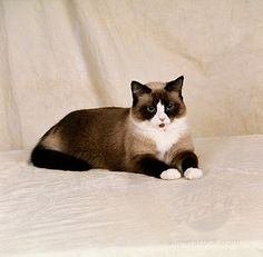 snowshoe cat - Looks like our Max