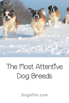 Are you wondering which the most attentive dog breeds are?    You might if you're looking for a dog that's loyal, friendly, and easy to train. Therapy Dog Training, Therapy Dogs, St Bernard Dogs, Most Popular Dog Breeds, Herding Dogs, Fluffy Dogs, Small Dog Breeds, Service Dogs, Rescue Dogs