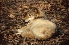 Lupo (Foto di M.Canziani), al centro della campagna nazionale Pro Natura mirata alla diffusione di corrette infomazioni sulla specie ancora oggetto di un intenso bracconaggio (www.uomoeterritoriopronatura.it).