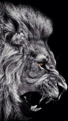 Lion More