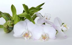 Download wallpapers white orchid, tropical white flowers, beautiful flower, orchids