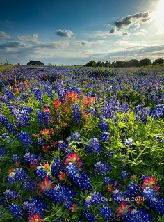 Wildflowers in Late Afternoon Sun, Texas