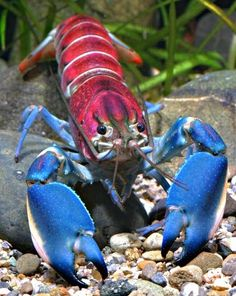Newly-discovered crayfish has a shell that looks like outer space