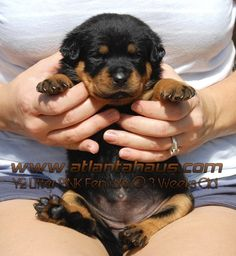 3 week old Rottweiler pup from our breeder!